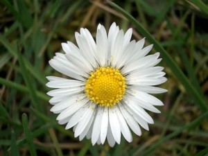 A beautiful Daisy - my mom's favorite flower