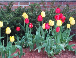 Portsmouth NH Homes - Spring Tulips