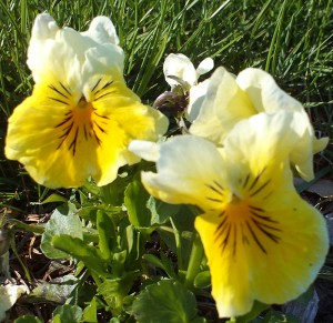 Portsmouth NH Homes - Yellow Pansies
