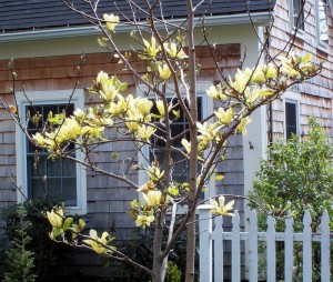 Portsmouth NH Homes - Yellow Magnolia 5-2-2009